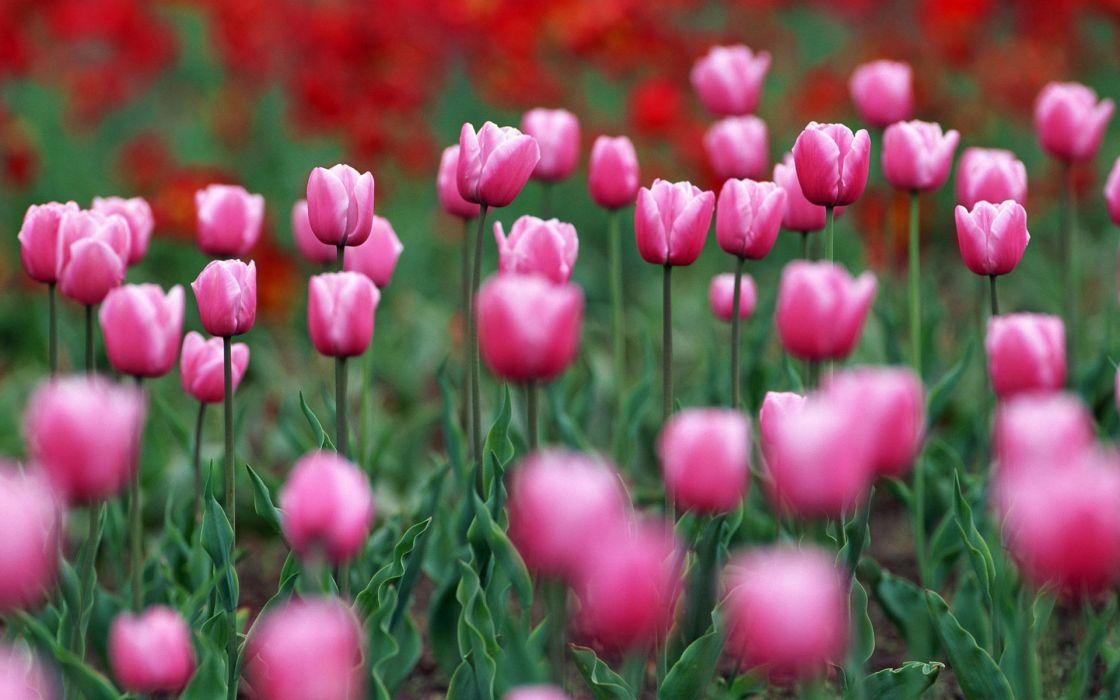 flower flowers petals garden nature plants beautiful delicate colorful soft spring 1920x1200 (228) wallpaper