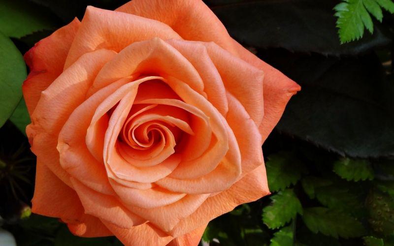 roses flowers gardens spring nature beauty love romance emotions life orange wallpaper