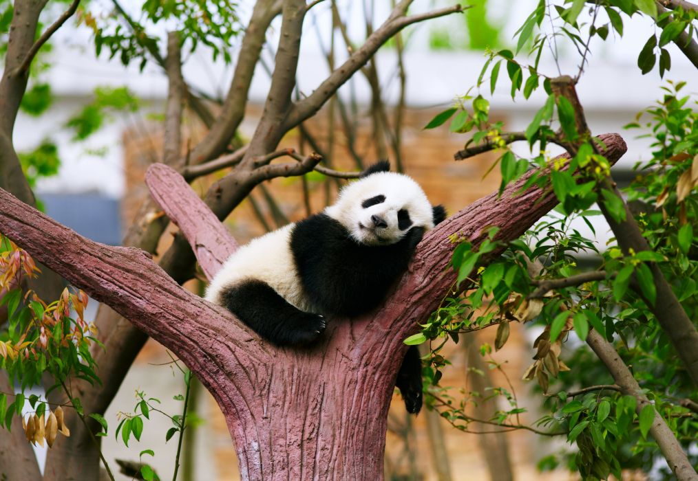 panda bear animals zoo trees relax sleepy rest baby wallpaper