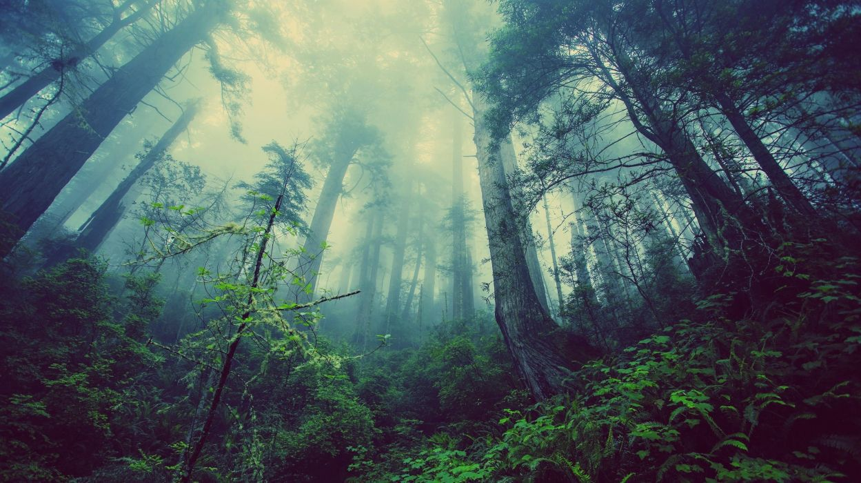 landscapes nature jungle forest trees plants fog tall trees wallpaper