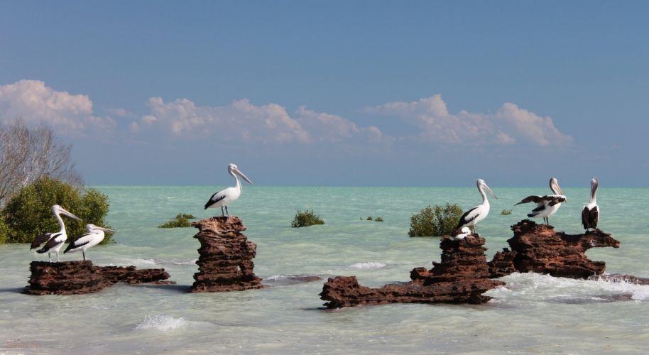 australia birds sea pelican ocean sea wallpaper