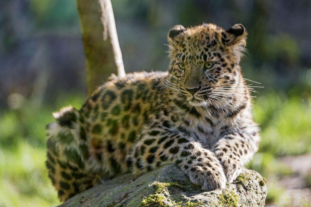 Amur leopard the Amur leopard leopard wild cat carnivore cub kitten baby wallpaper