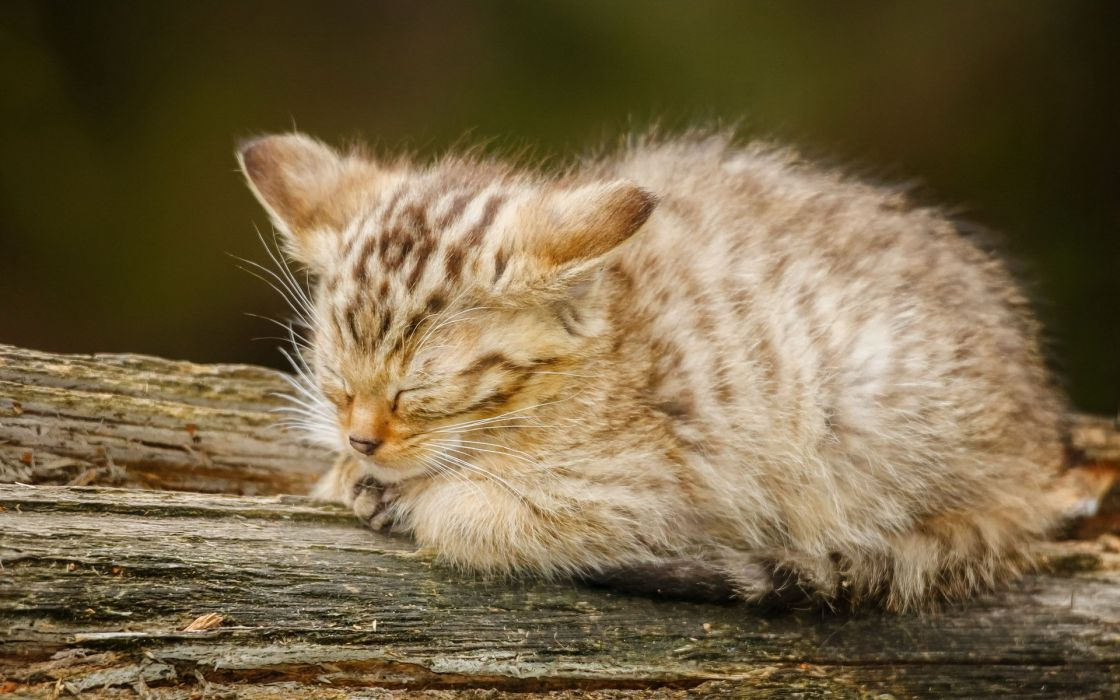 baby kitten cat wallpaper