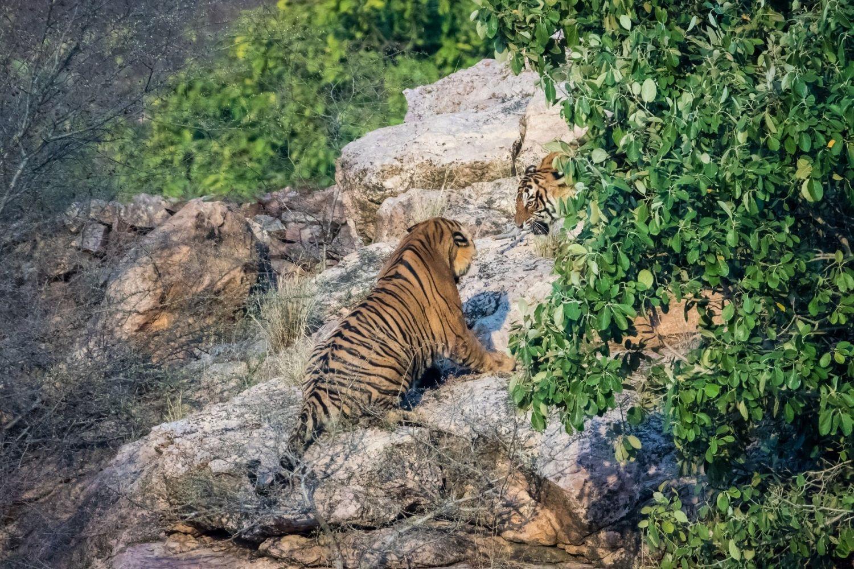Логово тигров фон трехлетием