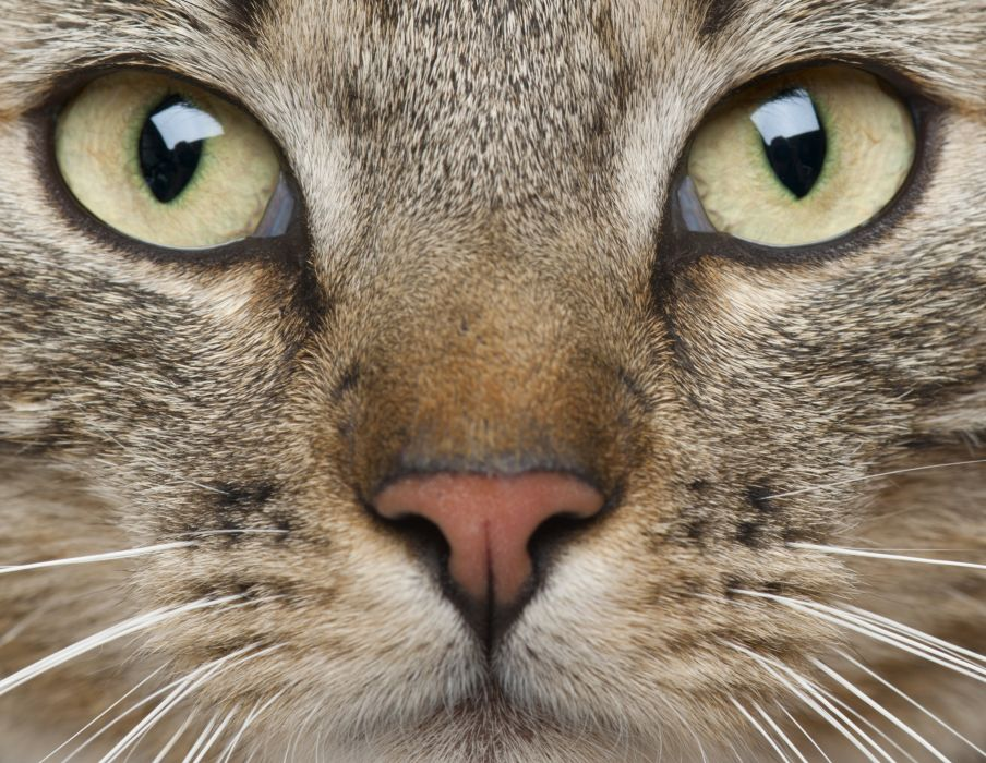 animal whiskers eyes muzzle cat wallpaper