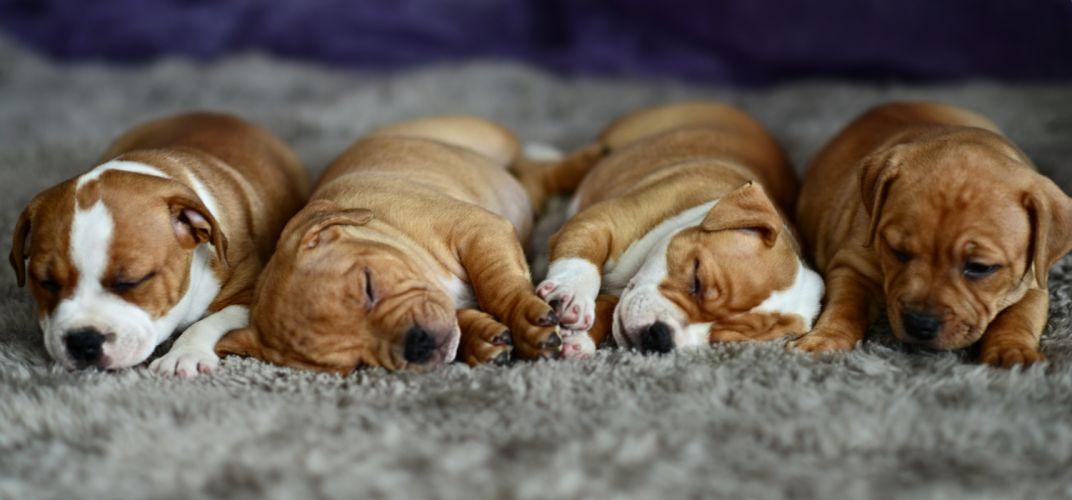 Dog Sleeping Puppy