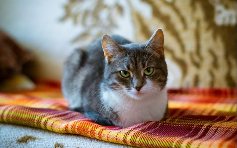 cat cats feline h wallpaper