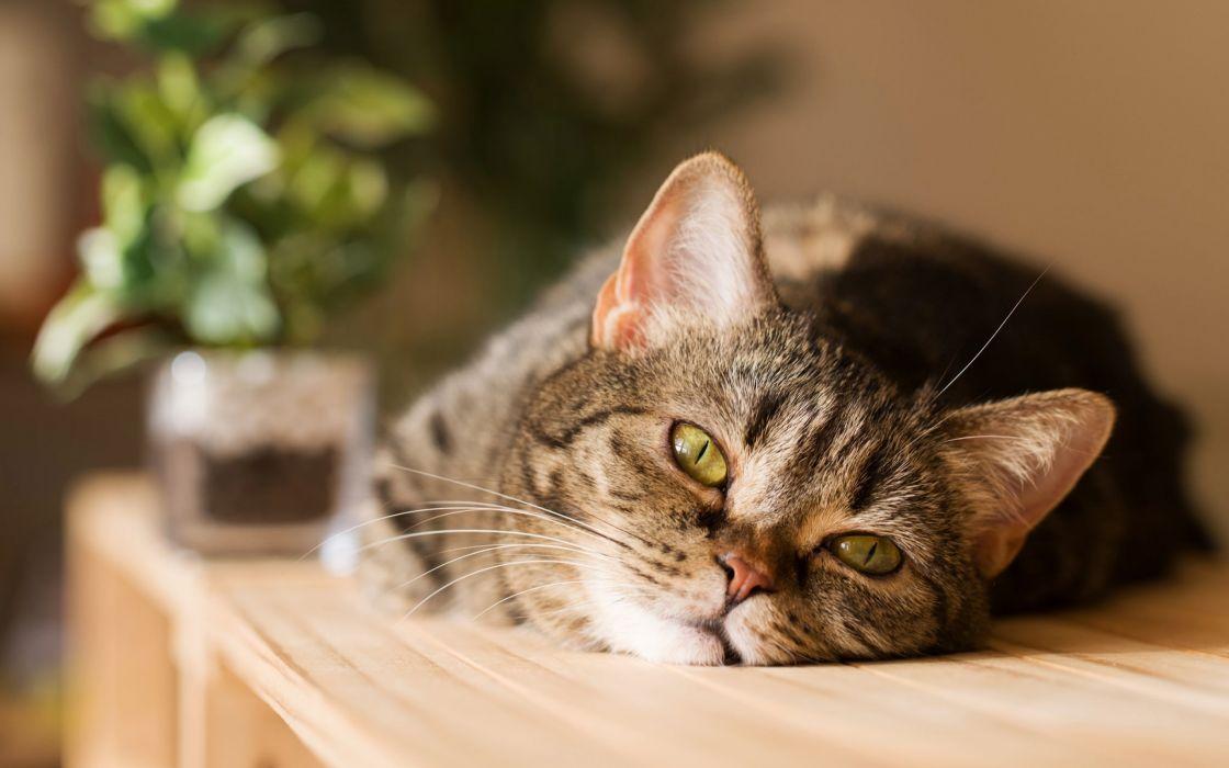 cat cats feline eyes s wallpaper