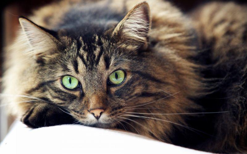 cat cats feline eyes u wallpaper