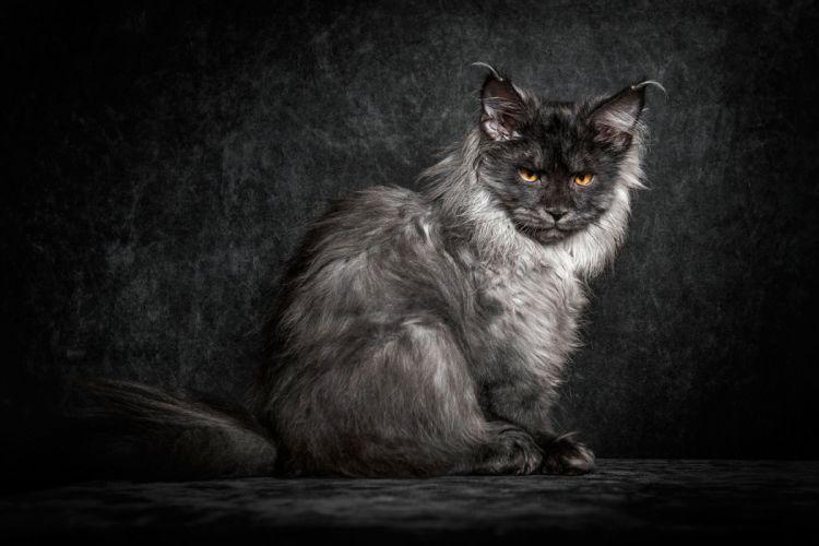 cat cats feline kitten baby f wallpaper