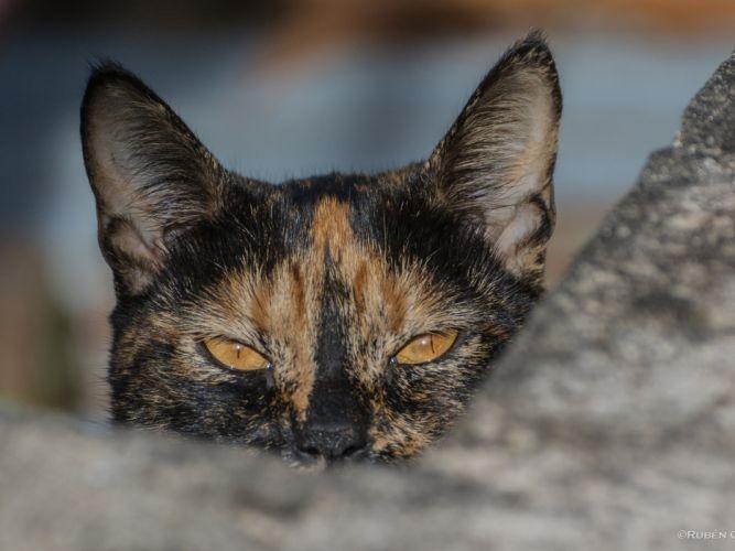 cat cats feline eyes y wallpaper