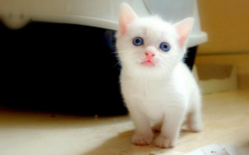 cat cats feline kitten baby v wallpaper