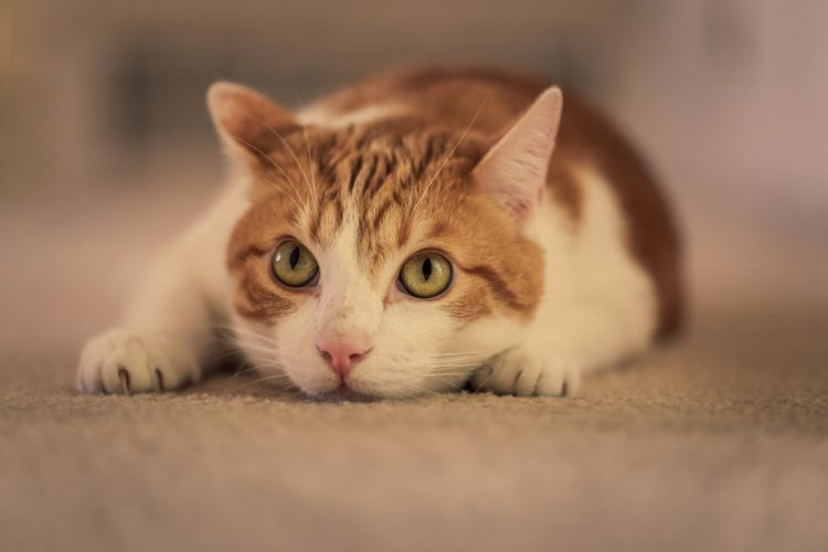 cat white-haired gaze posture wallpaper