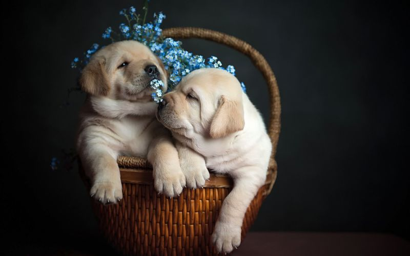 dog dogs puppy baby puppies d wallpaper