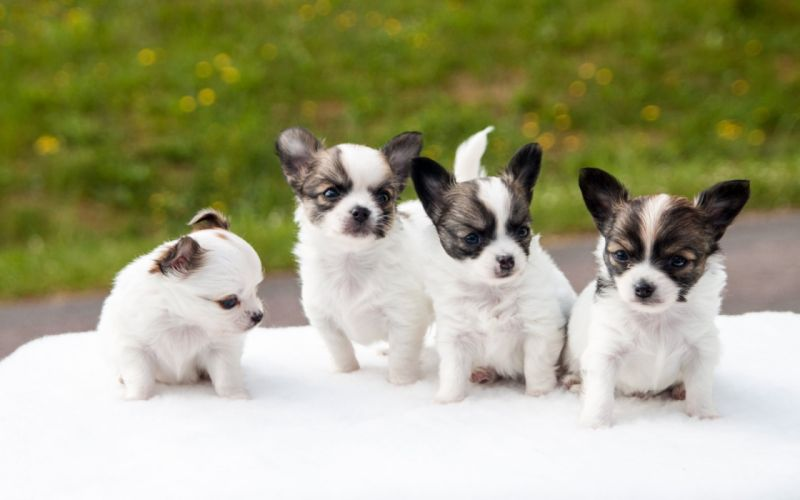 dog dogs puppy baby puppies sg wallpaper