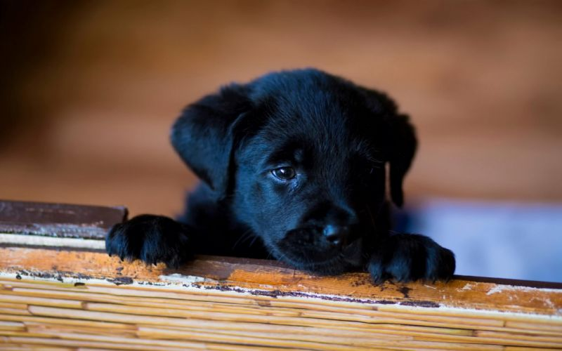 dog dogs puppy baby puppies gr wallpaper