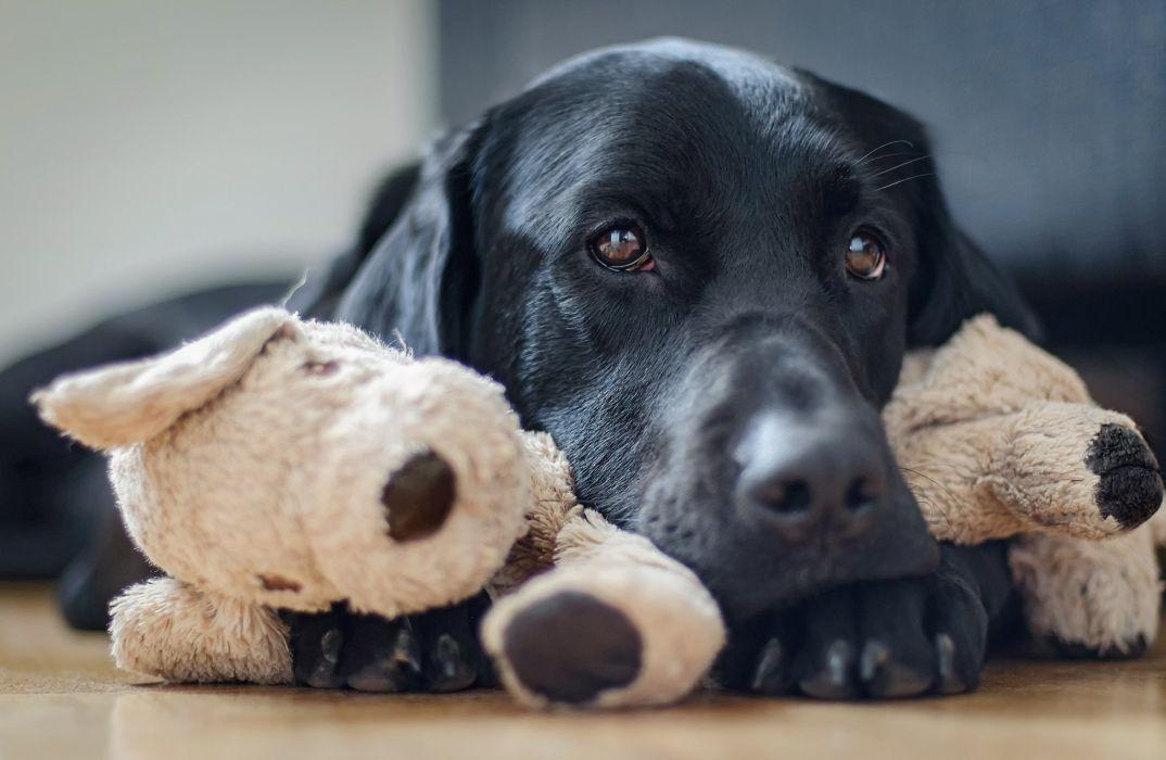 dog eyes nose animal plush wallpaper