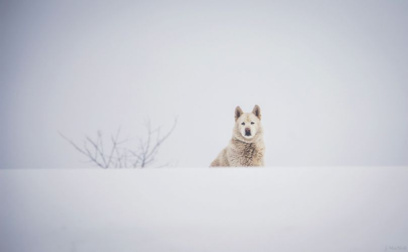 dog muzzle winter snow white husky wallpaper