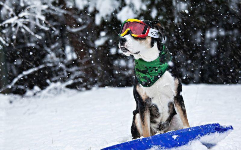 dog snow winter sled glasses humor funny wallpaper