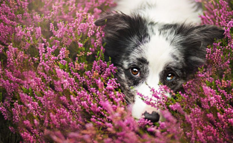 Dogs Border Collie Glance Animals wallpaper