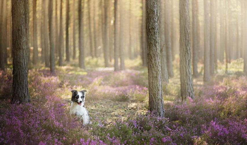 Dogs Forest Border Collie Animals Nature e wallpaper