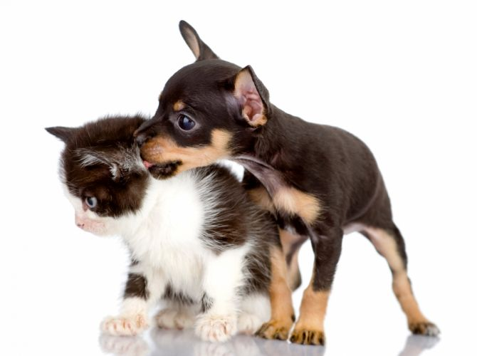 Dogs Cats Kitten Puppy Chihuahua baby wallpaper