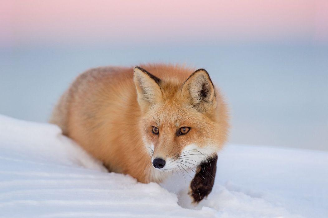 fox foxes winter snow f wallpaper
