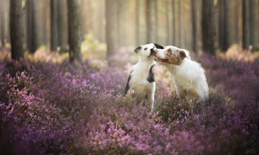 Dogs Forest Border Collie Animals Nature wallpaper