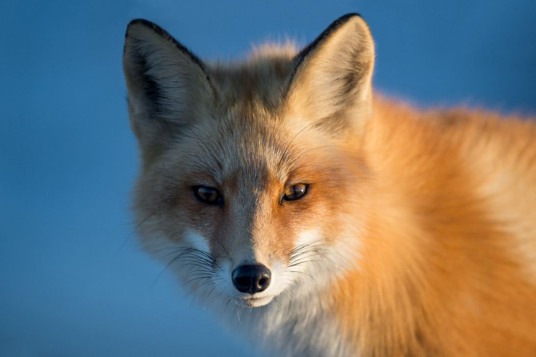 fox red krasava muzzle portrait sight foxes wallpaper