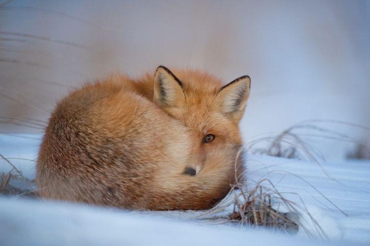fox foxes winter wallpaper