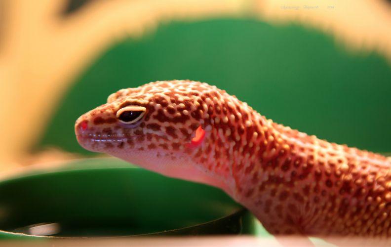 gecko transparent ears lizard reptile wallpaper