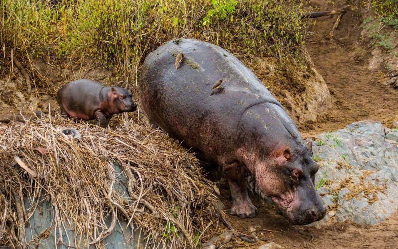 hippopotamus animals tanzania hippo baby wallpaper