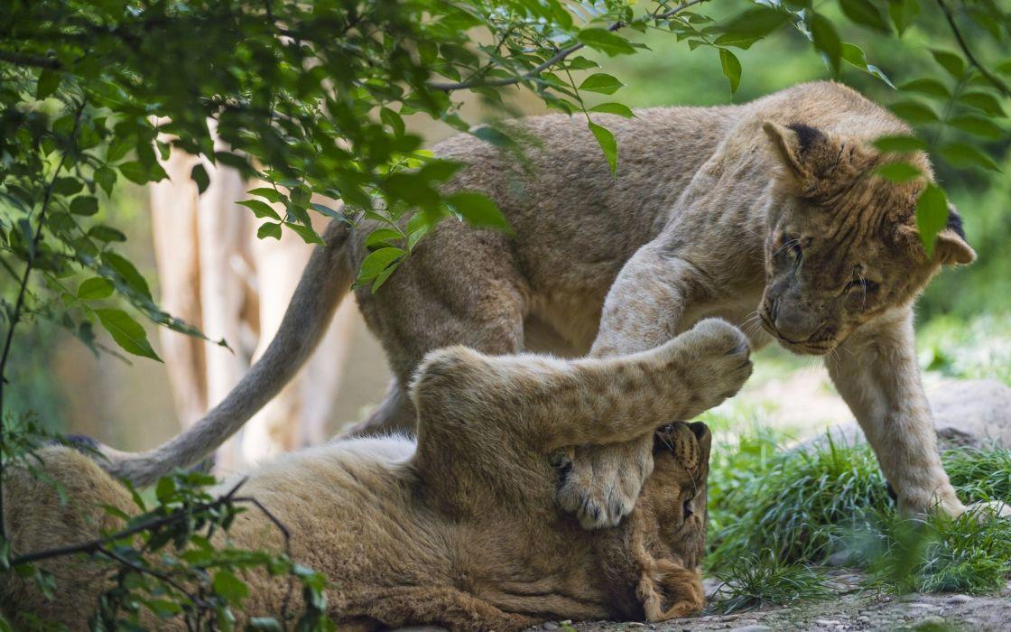 lion lions predator carnivore cat cats f wallpaper