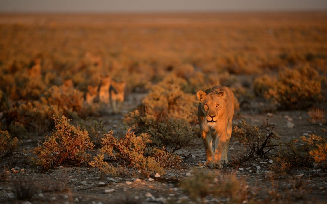 lion lions predator carnivore cat cats a wallpaper