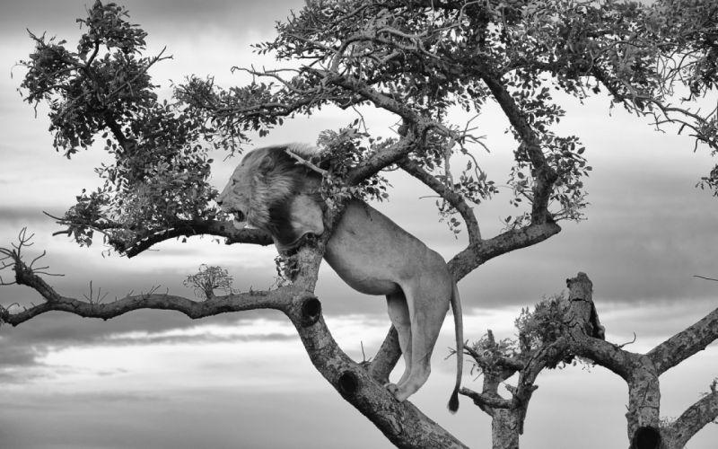 lion lions predator carnivore cat cats aj wallpaper