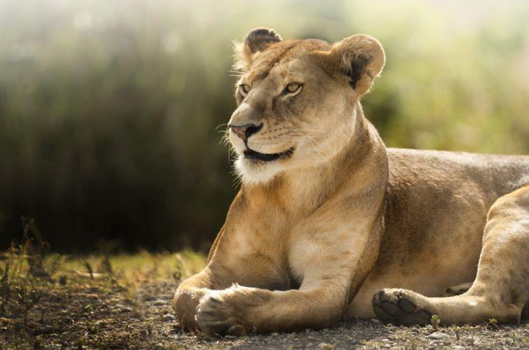 lion lions predator carnivore cat cats e wallpaper