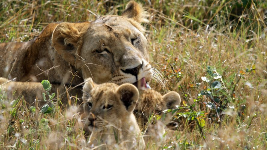 lion lions predator carnivore cat cats baby cub kitten s wallpaper