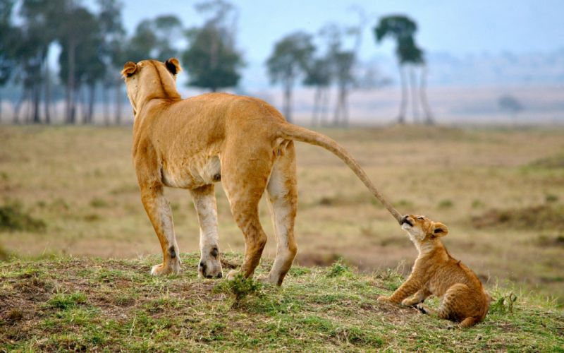 lion lions predator carnivore cat cats baby cub kitten c wallpaper