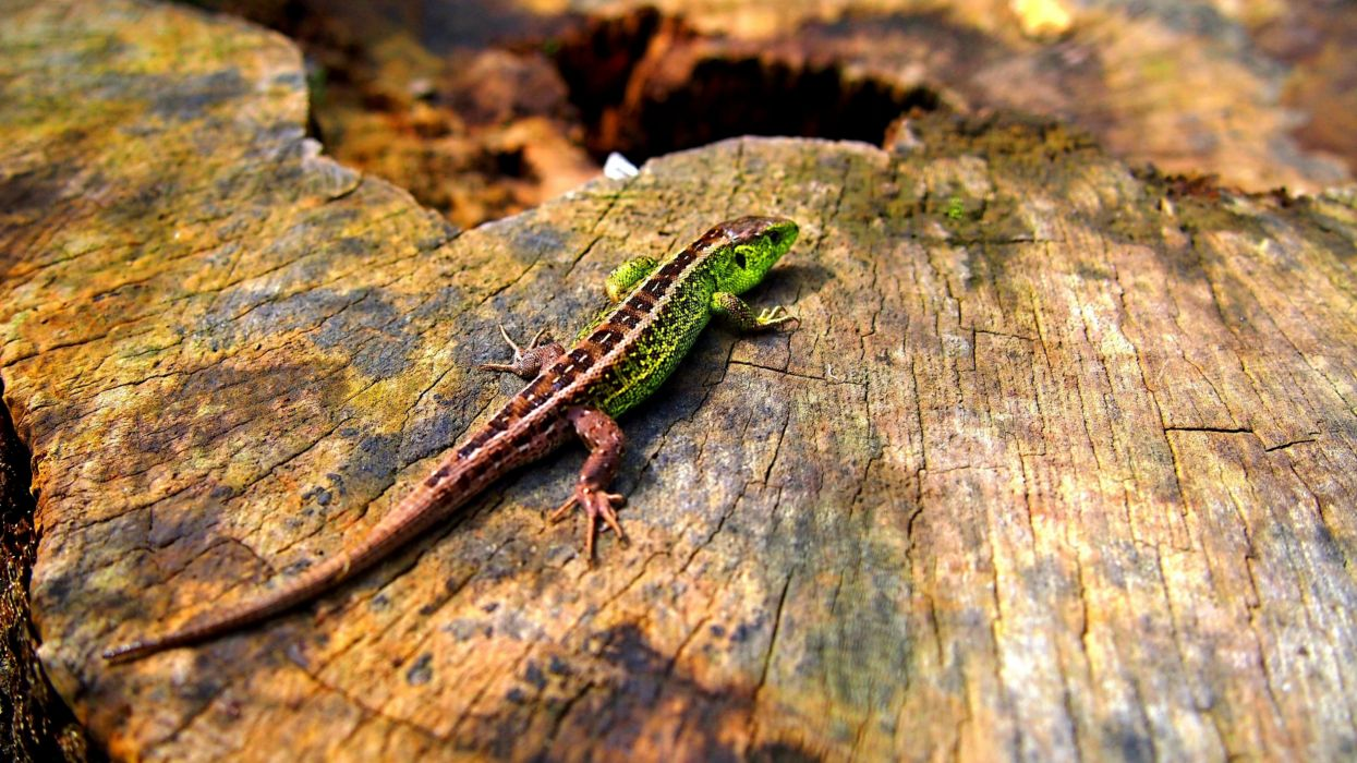 lizard reptile d wallpaper