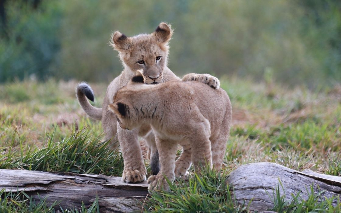 lion lions predator carnivore cat cats baby cub kitten g wallpaper