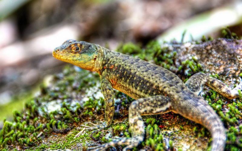 lizard reptile ds wallpaper
