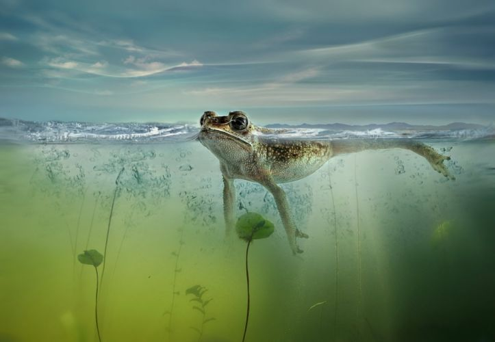 nature frog pond lake bubbles swim swimming wallpaper