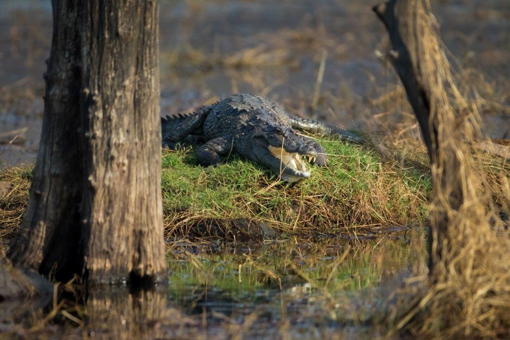 marsh crocodile alligator reptile predator wallpaper