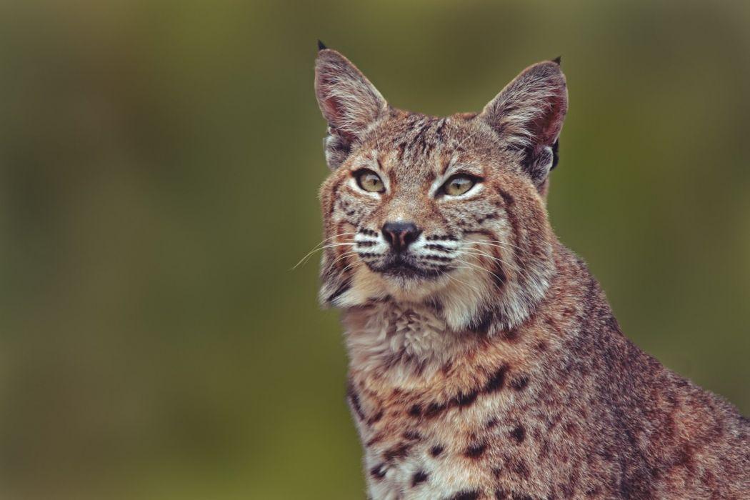 lynx wild cat portrait wallpaper