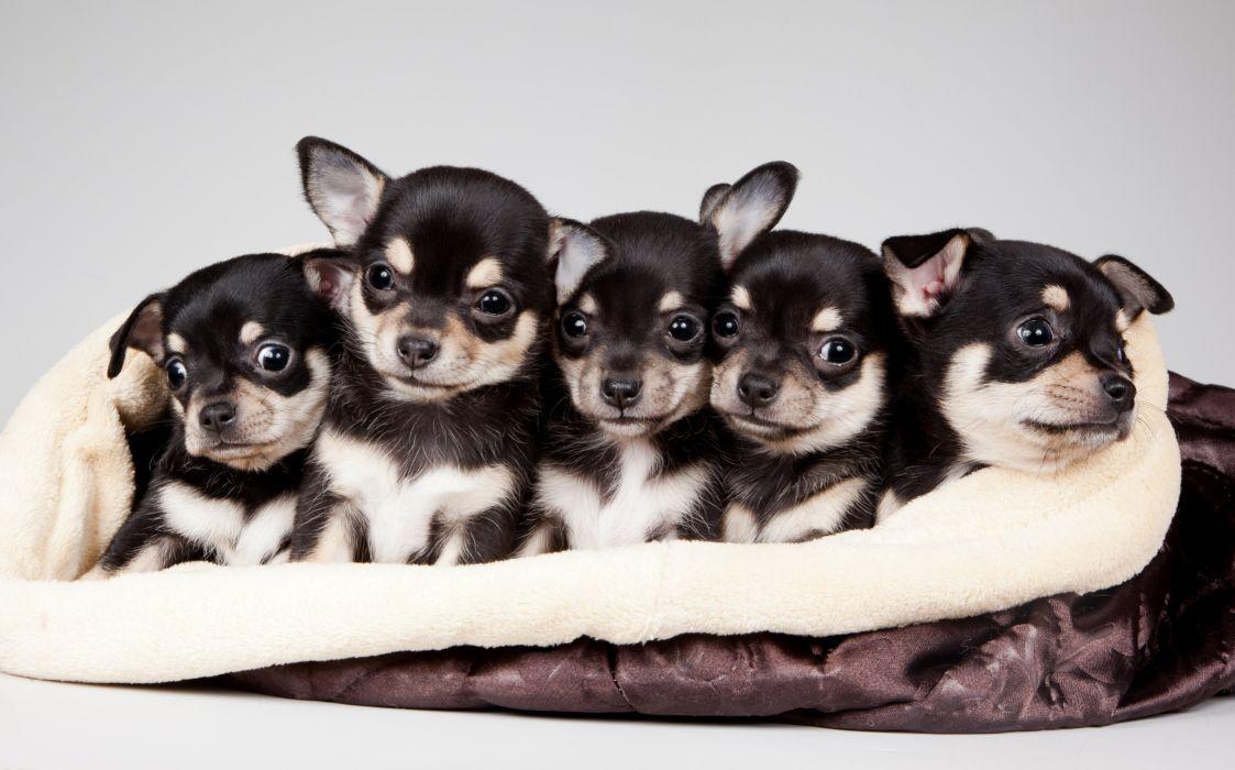 quintet cute puppies puppy baby wallpaper