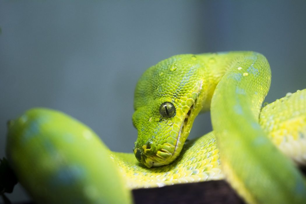 snake python green reptile scales close-up wallpaper