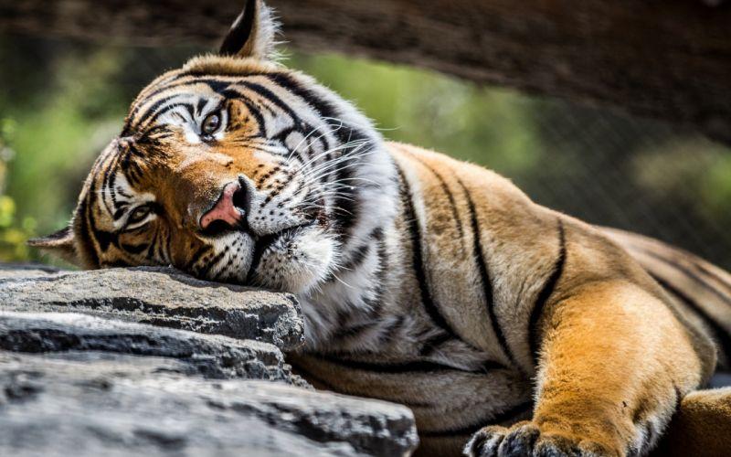 tiger tiger predator carnivore cat d wallpaper