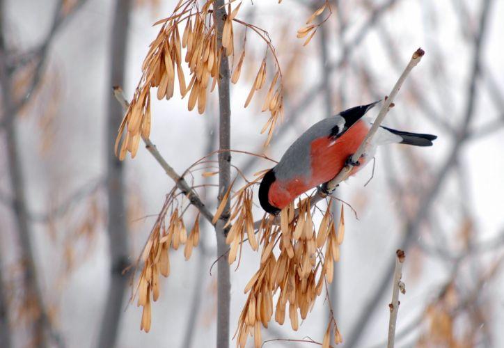 tree maple color pink bullfinch winter finch f wallpaper