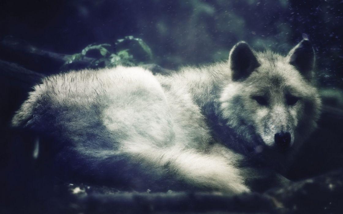 wolf wolves predator carnivore g wallpaper