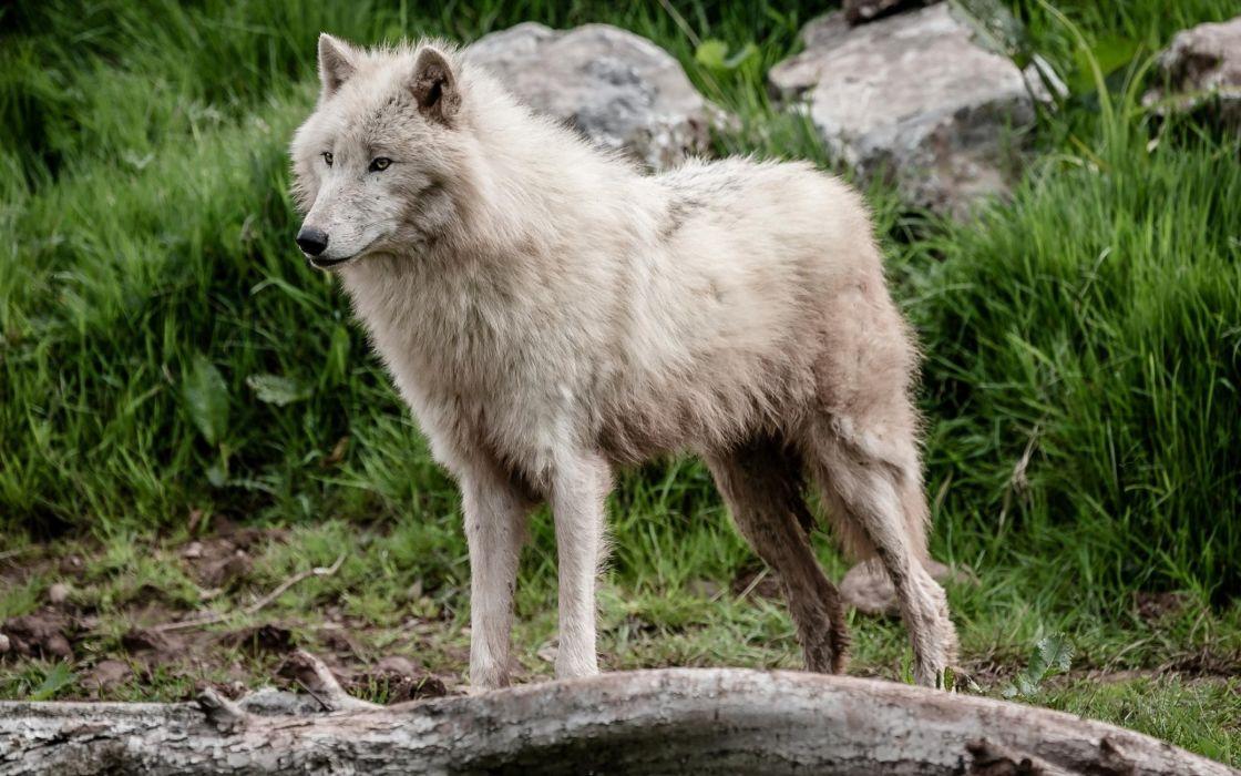 wolf wolves predator carnivore d wallpaper